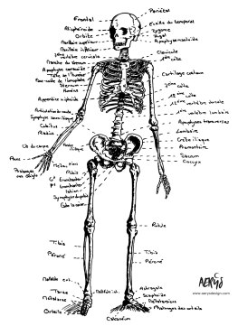 Etude squelette